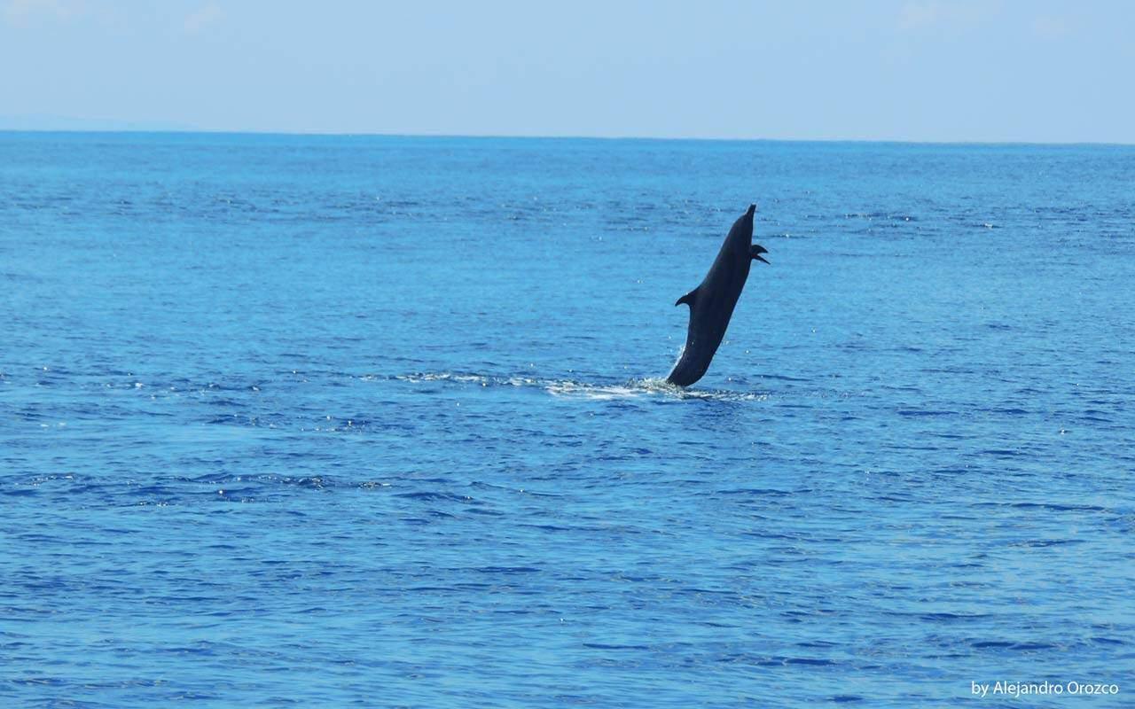 Jumping Dolphin in Uvita, Costa Ballena, Costa Rica
