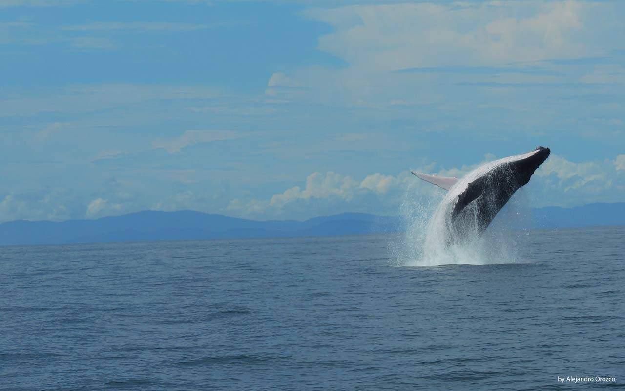 Jumping Whale in Uvita, Costa Ballena, Costa Rica