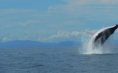 Que debe saber sobre el avistamiento de ballenas