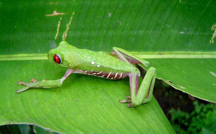 Red Eyed Tree Frog Corcovado Costa Rica