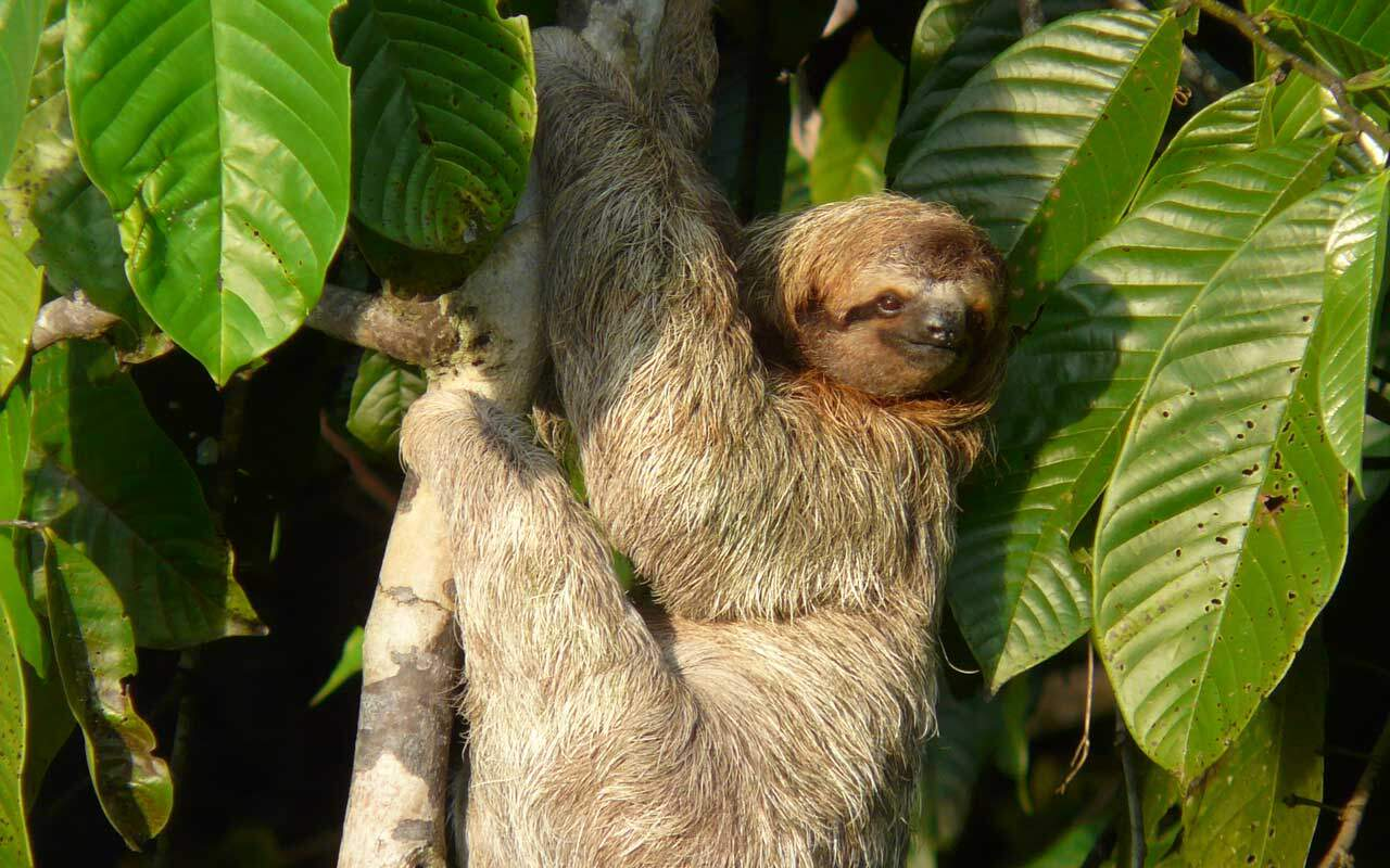 3 Toad sloth at Hotel Villas Rio Mar, Dominical