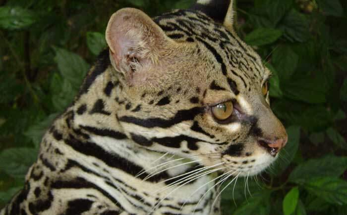 Margay Corcovado Costa Rica
