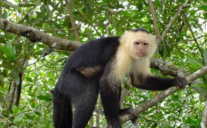 White Faced Capuchin Corcovado Costa Rica